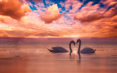 pair of swans, sunset, love concepts, white birds, swans on lake, swans