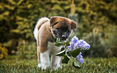 Small Akita Inu, bokeh, puppy, dogs, pets, dog with flowers, Akita Inu, cute animals, Akita Inu Dog, Akita with flowers