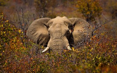 elephant in the trees, african elephant, Africa, bushes, elephant, wildlife, wild animals, elephants