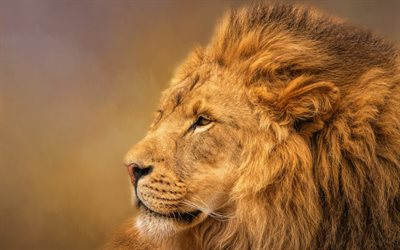 lion, Africa, predator, wildlife, close-up, wild cat, dangerous African animals