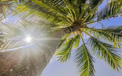 palm, bottom view, blue sky, palm leaves against the sky, palm tree, summer, tropical islands