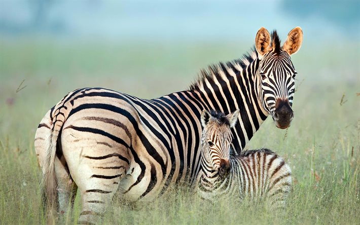 zebras family, savannah, mother and cubs, Africa, cute animals, wildlife, zebras, Equus quagga