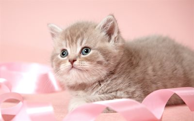 Cute kitten, furry gray kitten, cute animals, pets, pink ribbon, Cats