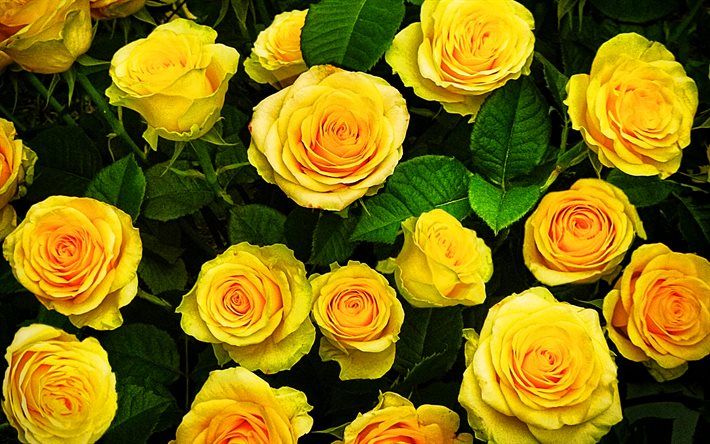 yellow roses, 4k, macro, yellow flowers, bokeh, roses, buds, yellow roses bouquet, beautiful flowers, backgrounds with flowers, yellow buds
