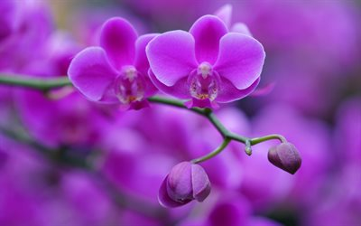 purple orchid, purple floral background, orchids, beautiful flowers, orchid branch, background with orchids