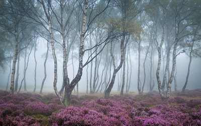 forest, derbyshire, morning mist, heather, england