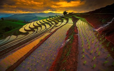 rice field, sunset, thailand