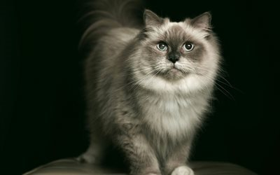 animal de compagnie, fluffy chat, portrait