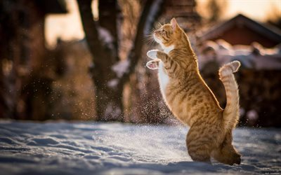 winter day, red cat, jump