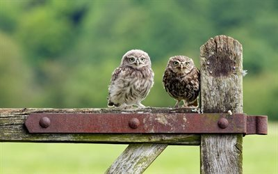 fence, birds, two owls