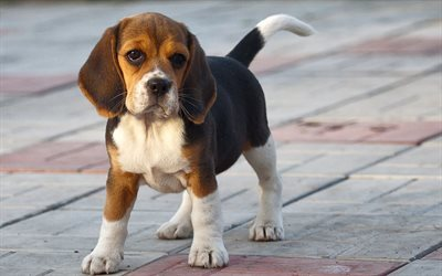 hunting dogs, puppy, beagle