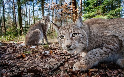 fallen leaves, wild cats, autumn forest, lynx