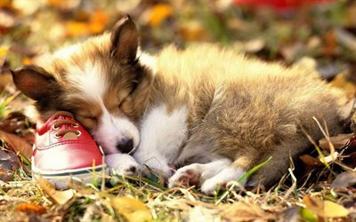 chien, l'herbe, chaussures, welsh corgi