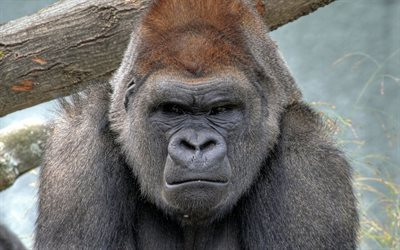 wild animals, gorilla, a serious look directly into the