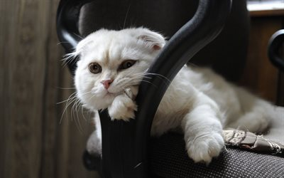 pose, scottish fold, white cat, chair