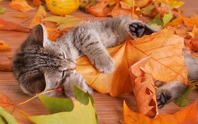 leaves, autumn, grey kitten
