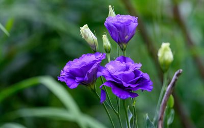Purple Eustoma, beautiful violet flowers, background with eustoma, lisianthus, prairie gentian