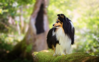 Shetland Sheepdog, dogs, pets, bokeh, summer, cute animals, Shetland Sheepdog Dog