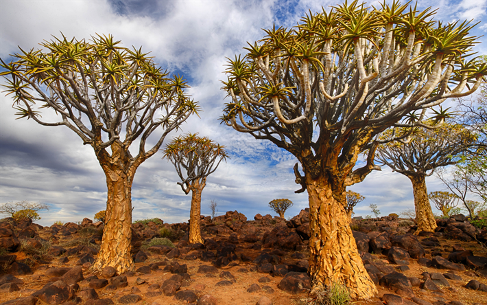Quiver Tree Forest, Aloe dichotoma, Keetmanshoop, Quiver Tree, sera, tramonto, alberi, paesaggio Africano, Namibia, Aloidendron dichotomum