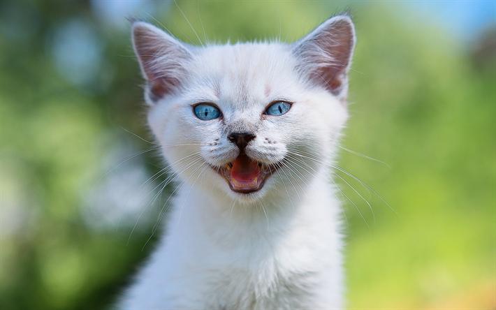 t l charger fonds d 39 cran sacr de birmanie chat chaton mignon ragdoll des animaux mignons. Black Bedroom Furniture Sets. Home Design Ideas