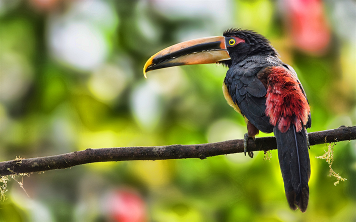 toucan, bokeh, jungle, wildlife, exotic birds, forest, Ramphastidae