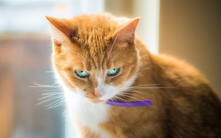 Download Wallpapers Ginger Cat Wallpaper With Cats Pets