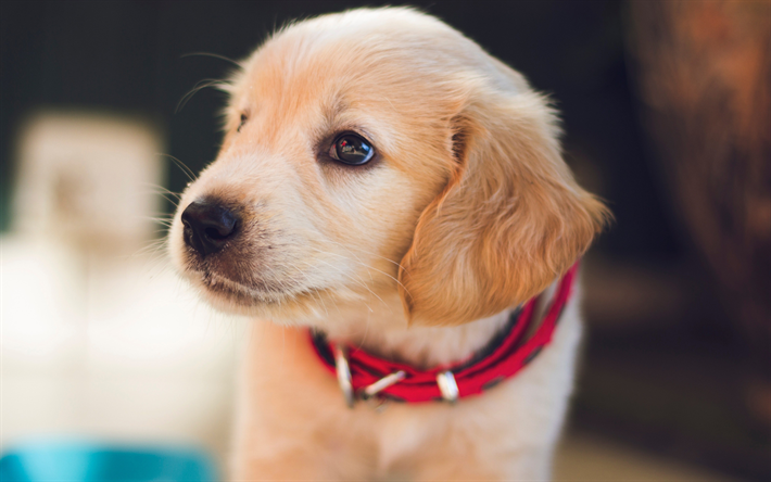 The Best Golden Retriever Puppy Food