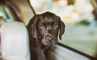 little black labrador, retriever, black puppy, pets, cute animals, dogs
