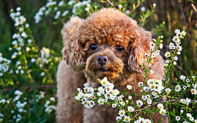 Poodle, summer, curly dog, poodle with flowers, bokeh, pets, cute animals, dogs, Poodle Dog