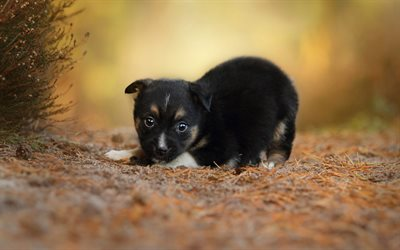little black puppy, forest, little cute animal, pets, dogs, fluffy black puppy