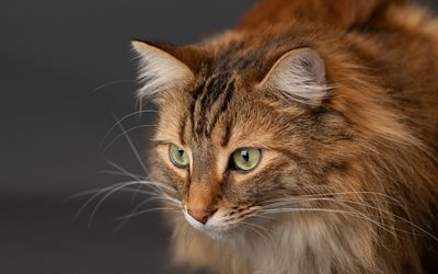 brown fluffy cat, Maine Coon, green eyes, cute animals, cats, pets