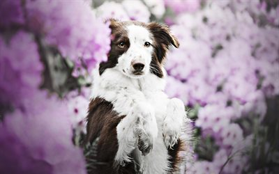 Brown Border Collie, spring, dog with flowers, cute animals, brown dog, pets, border collie, dogs, Border Collie Dog