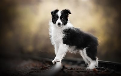 Border Collie puppy, bokeh, railway, cute animals, black dog, pets, dog on tree, black border collie, dogs, Border Collie Dog