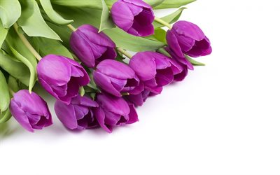 purple tulips, white background, beautiful spring flowers, tulips, bouquet, floral background