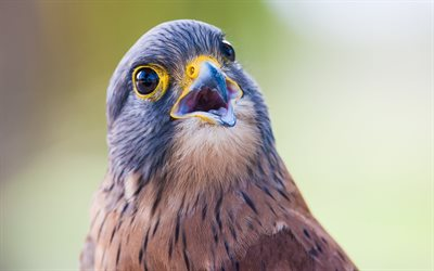 Rock Kestrel, close-up, wildlife, exotic birds, predatory birds, Falco rupicolus