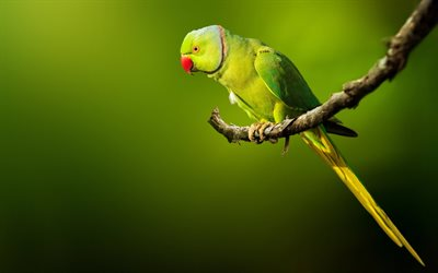 Rose-Ringed Parakeet, bokeh, wildlife, exotic birds, parrots, green birds, Psittacula krameri, parrot on branch