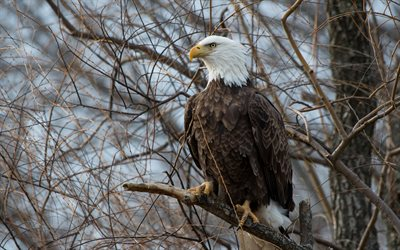 bald eagle, beautiful bird, eagle, tree, birds of prey, North America, USA, symbol of USA