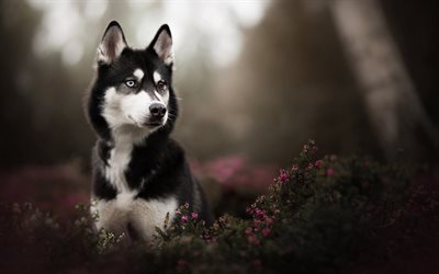 Husky, heterochromia, bokeh, pets, dogs, cute animals, Husky Dog