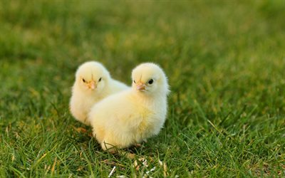 chickens, green grass, cute animals, little chickens, farm