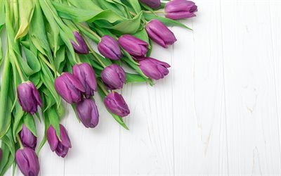 purple tulips, wooden white background, spring flowers, tulips, floral background, frame of tulips