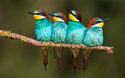 golden bee eater, macro, four birds, exotic birds, wildlife, birds on branch