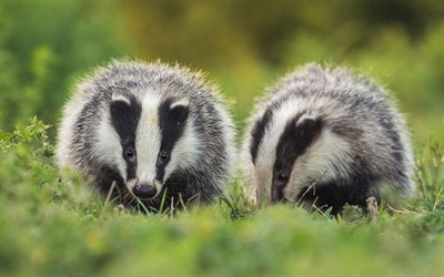 two badgers, bokeh, cute animals, wildlife, Meles meles, badgers
