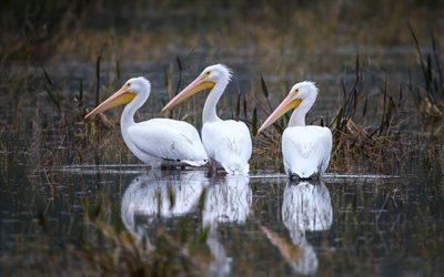 three white herons, lake, white birds, wildlife, Ardeidae, herons
