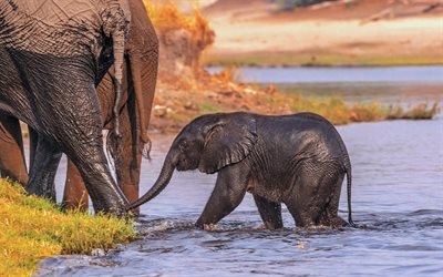 little elephant, evening, sunset, elephants, wildlife, river, elephant in the water