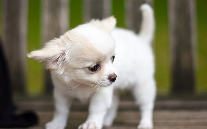 Chihuahua, little white puppy, cute animals, little dogs, white dog