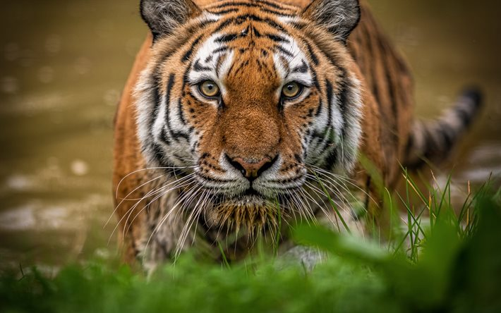 tiger, predator, wildlife, tiger eyes, green grass, dangerous animals, tigers