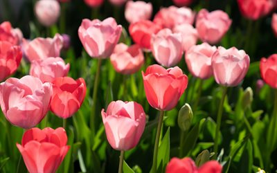 pink tulips, wildflowers, background with tulips, spring flowers, tulips