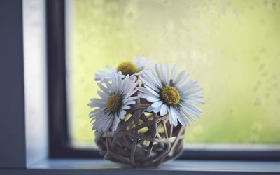 daisies, flowers on the windowsill, white flowers, beautiful flowers, floral decoration