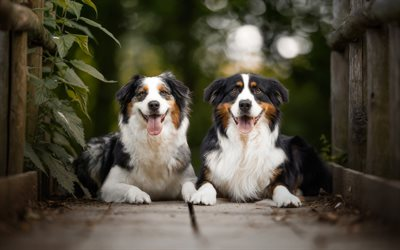 Aussie, dogs, cute animals, Australian Shepherd