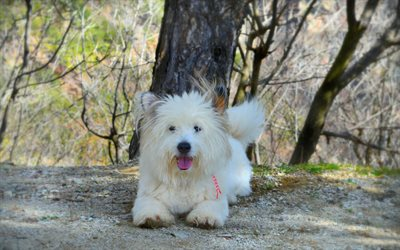 West Highland White Terrier, dog, white fluffy dog, cute animals
